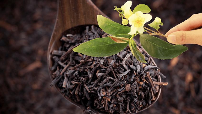 assam tea growth conditions