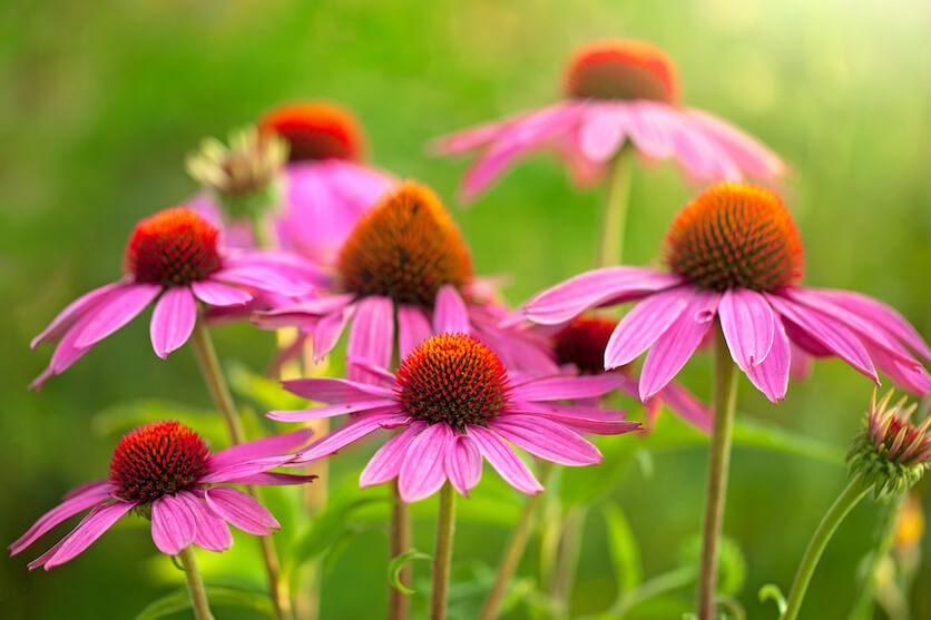 Echinacea benefits